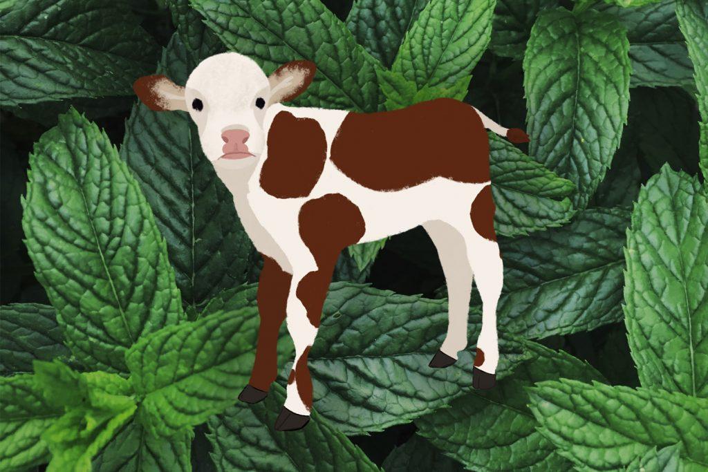Rumiantes, vacas, ovejas, ovejas, cabras, vacas lecheras, corderos, ovejas, terneros, terneros, producción de leche, PlusVet Animal Health, aditivos para alimentos, aditivos para alimentación animal, extractos de plantas, aceites esenciales, fitobióticos, fitoquímicos, fitogénicos, reemplazar antibioticos promotores del crecimiento, productos naturales, salud digestiva, RESPIRATORIO