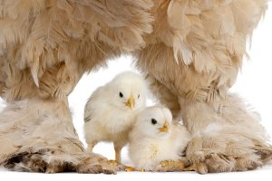 gallinas, reproductoras, PlusVet Animal Health, aditivos para alimentación animal, secuestrantes de micotoxinas, captadores de micotoxinas, aflatoxinas, deoxinivalenol, zearalenona, fumonisinas, tricotecenos, vomitoxina, t-2 toxina, ht-2 toxina, hongos, contaminación